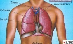 glandula timo