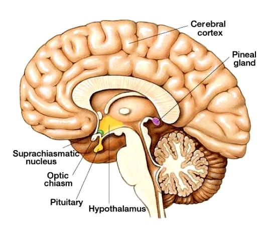 Como activar la glandula pineal y demas glandulas