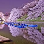 La maravilla de los Cerezos en Flor Japoneses